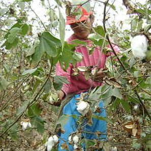 Algodón Tanguis cosecha
